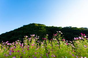 コスモスの花の写真素材 [FYI04085372]