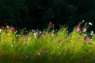 コスモスの花の写真素材 [FYI04085378]
