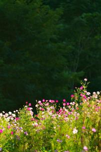 コスモスの花の写真素材 [FYI04085393]