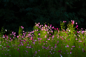 コスモスの花の写真素材 [FYI04085400]