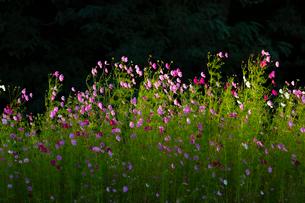 コスモスの花の写真素材 [FYI04085402]