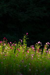 コスモスの花の写真素材 [FYI04085407]