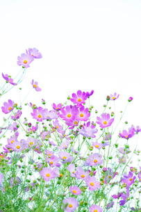 コスモスの花の写真素材 [FYI04085411]