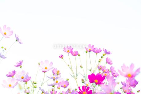 コスモスの花の写真素材 [FYI04085421]