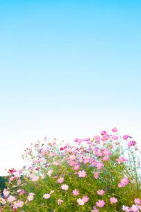 コスモスと青空の写真素材 [FYI04085425]