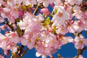 河津桜の写真素材 [FYI04085950]