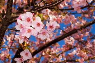 河津桜の写真素材 [FYI04085951]