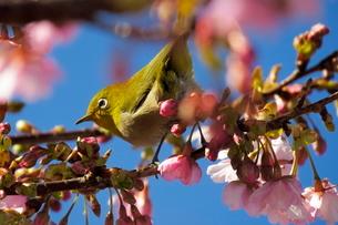河津桜とメジロの写真素材 [FYI04085955]