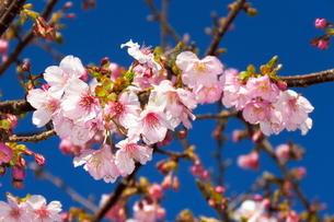 河津桜の写真素材 [FYI04085956]