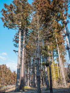 松島の瑞巌寺、参道の杉並木。津波による塩害で杉並木の本数は少なくなった。の写真素材 [FYI04086035]