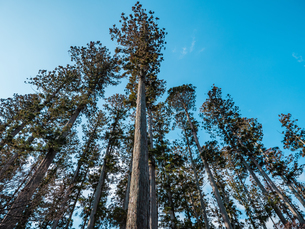 松島の瑞巌寺、参道の杉並木。津波による塩害で杉並木の本数は少なくなった。の写真素材 [FYI04086036]