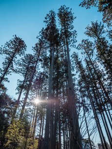 松島の瑞巌寺、参道の杉並木。津波による塩害で杉並木の本数は少なくなった。の写真素材 [FYI04086037]