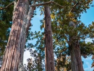 松島の瑞巌寺、参道の杉並木。津波による塩害で杉並木の本数は少なくなった。の写真素材 [FYI04086039]