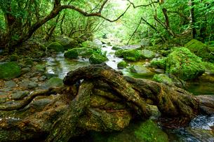 西表島のジャングルの写真素材 [FYI04086151]