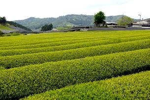 茶源郷,和束の茶畑の写真素材 [FYI04086608]