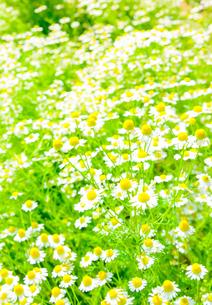花のイメージ カモミールの花の写真素材 [FYI04086778]
