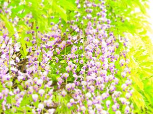 花のイメージ 藤の花の写真素材 [FYI04086779]