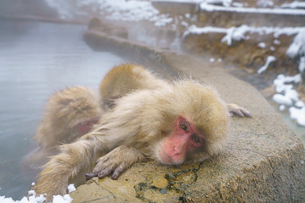 温泉に入るサル スノーモンキーの写真素材 [FYI04086835]