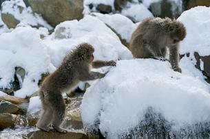 スノーモンキー 雪の中のニホンザルの写真素材 [FYI04086845]