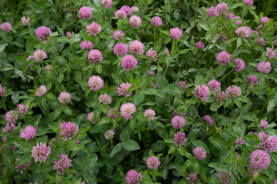 アカツメグサの花の群生の写真素材 [FYI04086953]