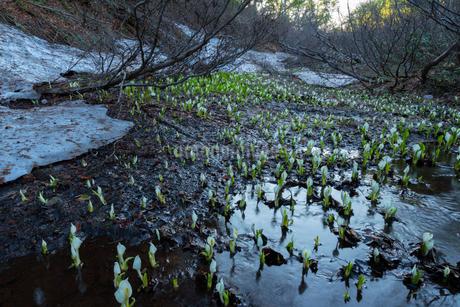 野々海高原の水芭蕉の写真素材 [FYI04086966]