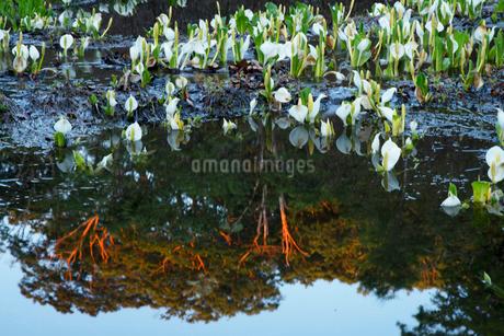 野々海高原の水芭蕉の写真素材 [FYI04086967]