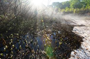 朝日を浴びる野々海高原の水芭蕉の写真素材 [FYI04086970]