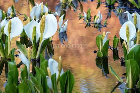 夕日を浴びる野々海高原の水芭蕉の写真素材 [FYI04086986]