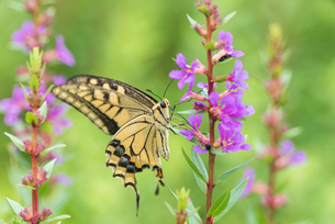 花の蜜を吸うアゲハチョウの写真素材 [FYI04087021]