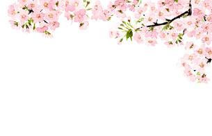 桜 さくら ソメイヨシノ 満開 水彩のイラスト素材 [FYI04087037]