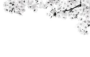 桜 さくら ソメイヨシノ 満開 水彩 水墨画風 モノトーンのイラスト素材 [FYI04087038]