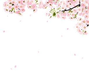 桜 さくら ソメイヨシノ 花吹雪 満開 水彩のイラスト素材 [FYI04087043]