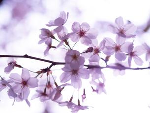 優雅な桜の写真素材 [FYI04087161]