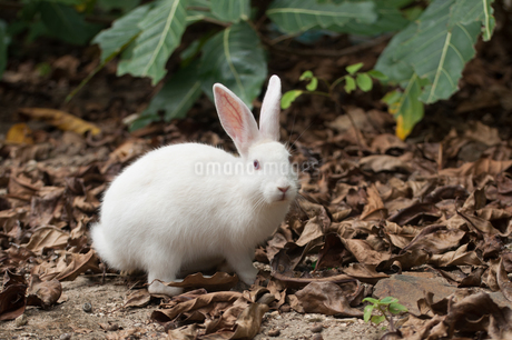 野生化したウサギ 八重山諸島 嘉弥真島の写真素材 [FYI04087232]