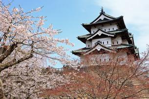 5月 ライトアップされた桜の弘前城 -東北の春-の写真素材 [FYI04087608]
