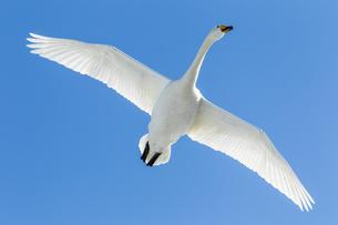 白鳥と青空の写真素材 [FYI04087692]