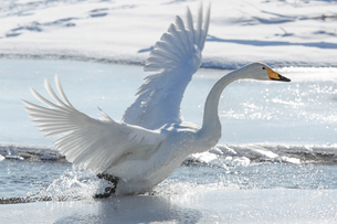 白鳥の写真素材 [FYI04087693]
