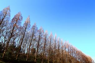 相模原公園のメタセコイア並木の写真素材 [FYI04087738]