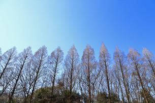 相模原公園のメタセコイア並木の写真素材 [FYI04087739]