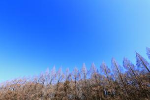 相模原公園のメタセコイア並木の写真素材 [FYI04087742]