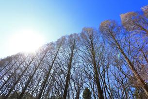 相模原公園のメタセコイア並木の写真素材 [FYI04087743]