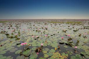タイ タレーブアデーンの蓮の花の写真素材 [FYI04087749]