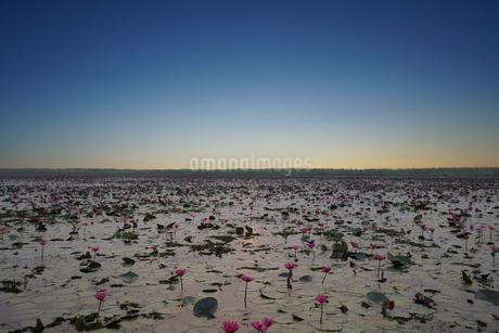 タイ タレーブアデーンの蓮の花の写真素材 [FYI04087754]