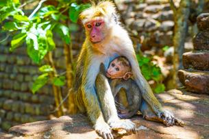 猿(スリランカ・シーギリヤロック)の写真素材 [FYI04088491]