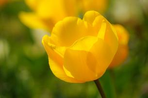 黄色のチューリップ畑のイメージの写真素材 [FYI04088498]
