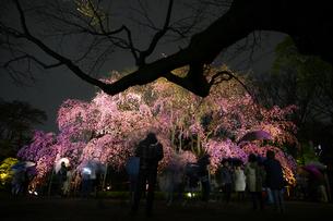 六義園の満開の枝垂れ桜の写真素材 [FYI04088546]