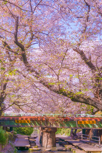 二ヶ領用水(宿河原堤桜並木)の桜の写真素材 [FYI04088566]
