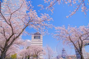 満開の桜と横浜みなとみらいの街並みの写真素材 [FYI04088567]