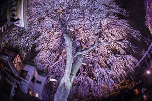 新宿の高層ビル群とライトアップされた桜の写真素材 [FYI04088582]