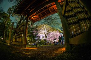 六義園の満開の枝垂れ桜の写真素材 [FYI04088648]